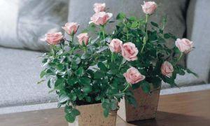 Уход за комнатной розой в горшке: как выбрать комнатную розу, ее адаптация, полив, подготовка к зиме