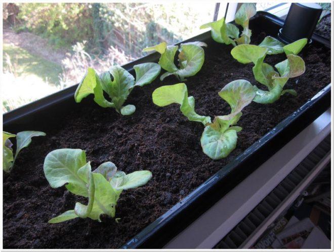 листовой салат на подоконнике зимой