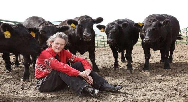 Коровы Тэмпл Грандин