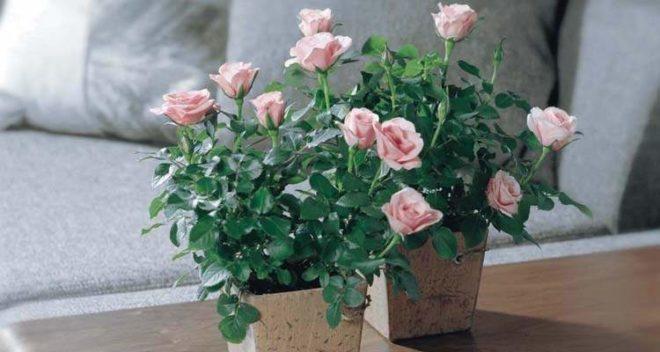 чем подкормить комнатную розу