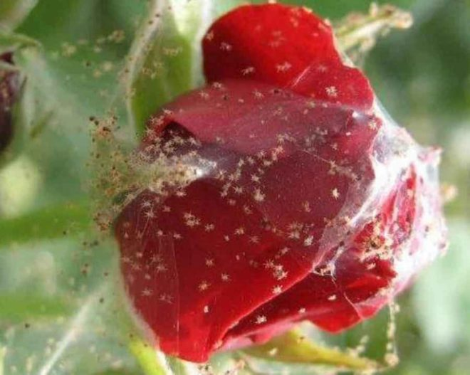 вредители комнатной розы и их лечение